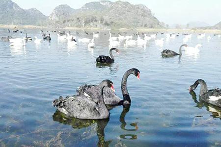 云南昆明+普者黑2日1晚跟团游,亲临爸爸去哪儿拍摄地-天鹅湖
