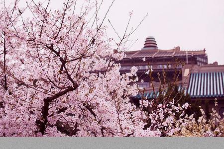 春暖开花~赏武大樱花+品武汉美食两日游