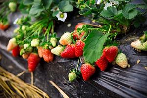 2019年近郊草莓采摘_温泉直通车价格_行程安排