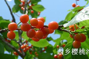 西乡樱桃沟赏花、鹿龄寺一日游